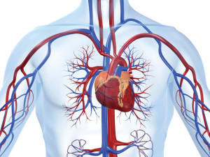 heart-and-vasculature_20121015012458